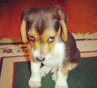 狗狗犯错咋办?罚站,耍赖,装无辜,太可爱了图片