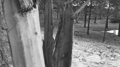 撞车之后 河边大树被别克车撞掉树皮