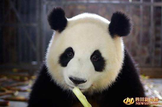 (成都大熊猫繁育研讨基地供图)