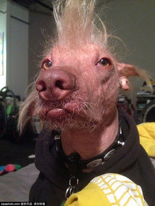 这组图是入围今年大赛的狗狗们,真的是没有最丑,只有更丑.