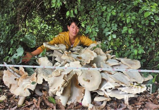 云南普洱江城发觉一窝菌子重300斤