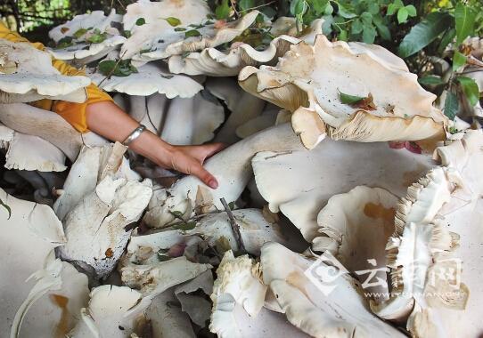 大的菌柄比手臂�粗