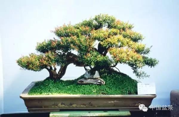 这是一盆赤楠盆景,赤楠是一种常绿小灌木,属桃金娘科,别名千年矮
