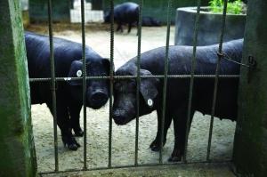 观察点豢养区设有猪圈,可察看猪能否有异样反馈