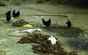 观察点豢养区领有上千只鸡鸭供监测研讨