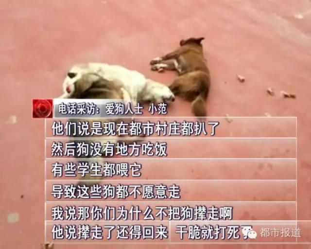老周说,见到流浪狗,完全可以把它们送到收容所或者救助站,而不是采取一棒子打死。也许流浪狗的确会影响学校的教学环境,但也不能成为残忍打杀的理由。