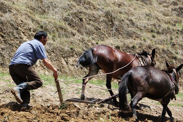 实拍:青海农民至今还用骡子种田