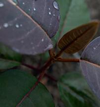 """形如遮阳伞的""""光之子"""",来自马达加斯加的哈伦加那,是开拓贫壤瘠土的先锋,它拯救了被刀耕火种的农业方式摧毁的马达加斯加。它能够使植株周围的土壤变得肥沃,促进所有其他物种的发展,保护土壤湿度,令区域与生态系统重返生机,它是有着金子般内心的无私贡献者。"""