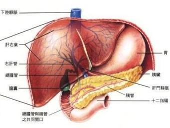 肝脏长在人体的左边还是右边图片