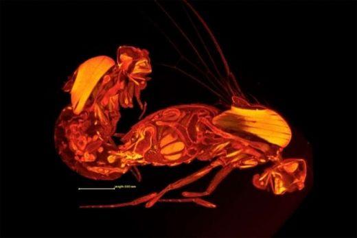 世界上最长的精子 果蝇精子长6厘米(人类1000倍)