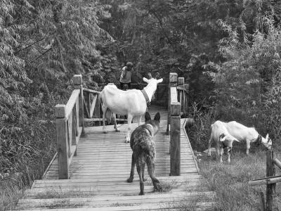 老太太的羊在公园的廊道处吃草