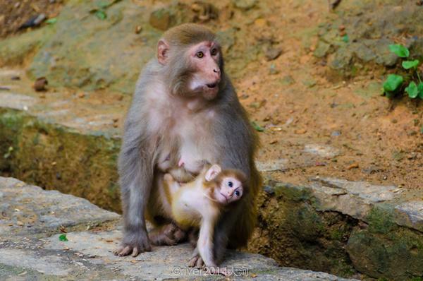 小猴子最可爱,躲在妈妈的怀中不肯出来.图片