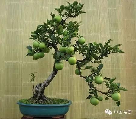粗犷自然的果树盆景欣赏