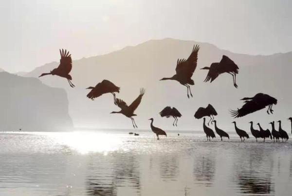 野牦牛又叫野牛,国家一类保护动物,藏名音译亚归,是我国青藏高原一带