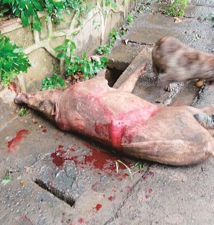 武大野猪被击毙
