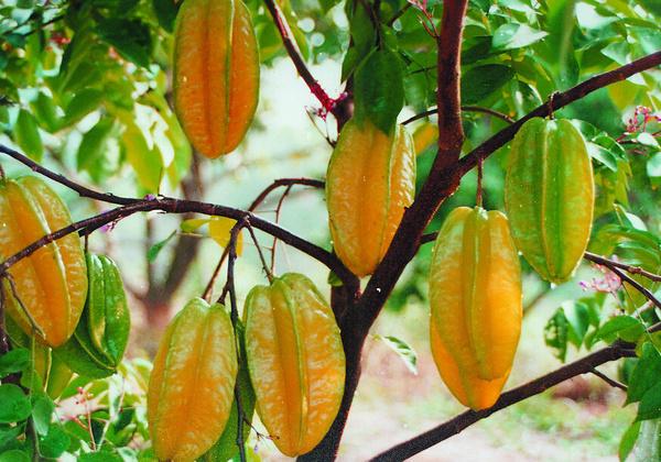 杨桃施用有机肥的技术
