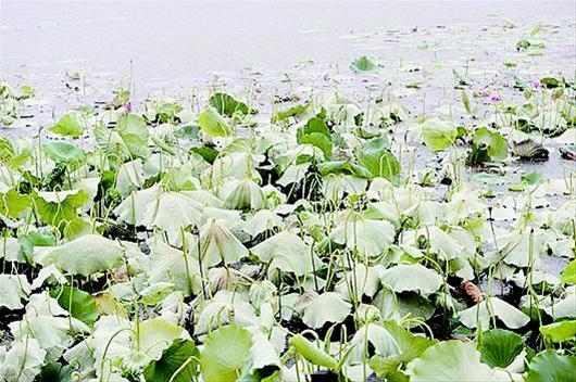 农村新报讯 7月15日,武汉市青山区胜强村严西湖湖边,原本美丽的荷花大面积凋零,原是严西湖渔场打了除草剂。