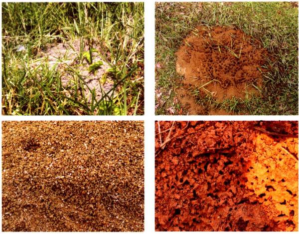 直径30—50cm的蚁丘,有时为大面积蜂窝状,内邮站构为蜂窝状.