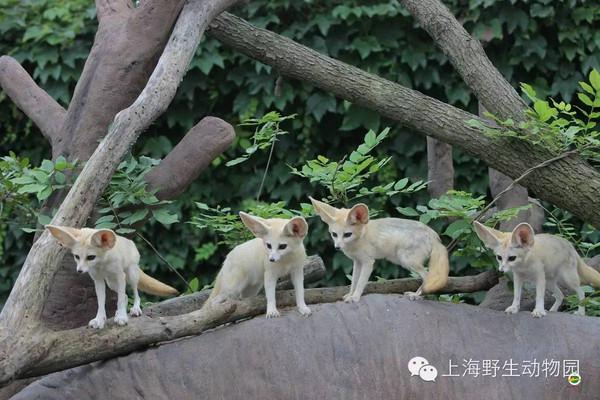 在上海野生动物园小动物乐园里生活着一群来自非洲撒哈拉沙漠的小精灵