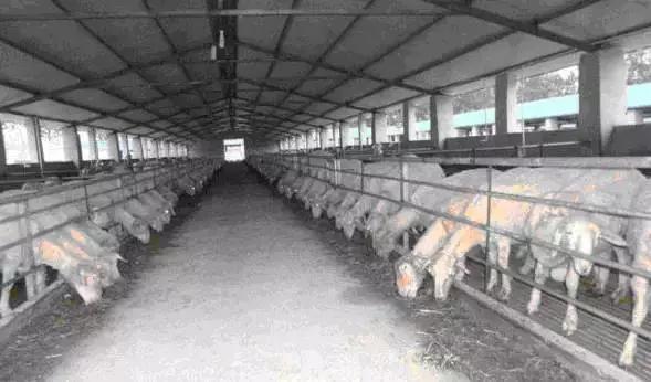 工厂化养羊是我国养羊业的根本出路