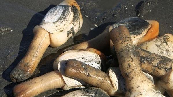 美国人不吃的象牙蚌在中国热卖