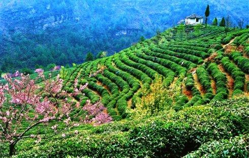 贵州茶产区:茶园套桂花茶下养土鸡(图)图片