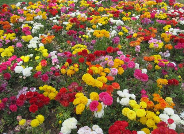 月季花与玫瑰的区别