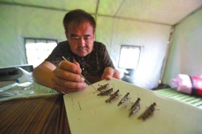 制造蝗虫标本。