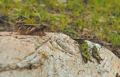 成群的蝗虫趴在石头上。