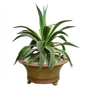 盆景 盆栽 植物 300_300