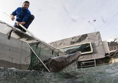 工作人员利用超声波对鲟鱼进行扫描,以确定鱼子是否适于制作鱼子酱。一旦达到标准,他们便会用渔网捕捞鲟鱼。