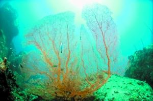 """现在已进入夏季旅游的高峰阶段,海滩游、夏令营、登山体验林海等都成为其中大热。记者本周从顺德各大旅行社获悉,近年来有不少顺德驴友钟情""""潜水游"""",而且喜欢发掘一些少人光临,近乎原始状态的小岛。在海岛的水下世界中,不仅能近距离观摩各式海洋生物,运气好的,还能与脾气好的鲸鲨共游。马来西亚的天鹅岛,也称登莪岛Pulau Tenggol,就是这样的一个神奇的潜游之地。"""