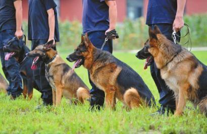 �谋灸昶穑�四川公安的警犬要承受技能品��J�C�y�,分新手、生手、教授三�。