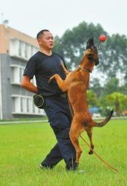 在�犬�T的指令下,警犬地面接物。