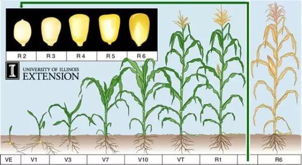 于玉米和大豆的生长过程的高清图解