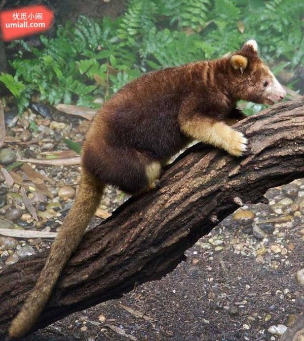 因为森林被大面积砍伐,他们逐渐失去栖息地,所以称为濒危物种.