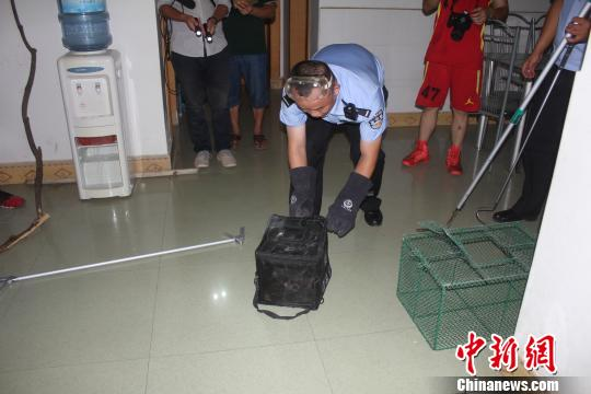 元江县丛林公安局民警将眼镜蛇捉住。 潘翔 摄