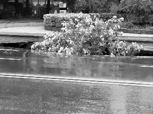 行道树陷入坑中了
