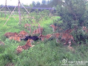 """本报讯 (记者 史耀可白 羽)今天,一段上海家养植物园一头黑熊被几只成大哥虎攻击,最后被咬死的视频传播于收集。记者从上海家养植物园知道到,被咬死的是一头3岁多小黑熊,小黑熊从熊区误突入虎区,遭多头山君""""群殴""""咬死。"""