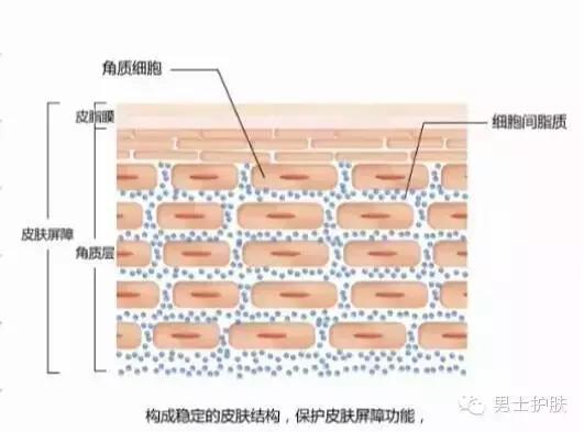 1、 什么是皮肤屏障?   皮肤最外层称之为角质层,它是由20层扁平、相互交织的角质细胞所组成。角质细胞尤如砖一样坚韧,其间有尤如灰浆的脂质将角质细胞紧密地相互连接在一起,形成砖墙结构。   它表面还有一层由汗液及皮脂组成的保护膜(水脂膜),共同构成了皮肤的屏障。皮肤屏障能锁住皮肤水分和油脂,并抵抗各种皮肤表面病菌入侵,对人体健康起着非常重要的保护作用。       2、 皮肤病与皮肤屏障   皮肤病多种多样,不少皮肤病容易反复发作,却难以找到具体的发病原因。常见的皮肤发红、发痒、发干等