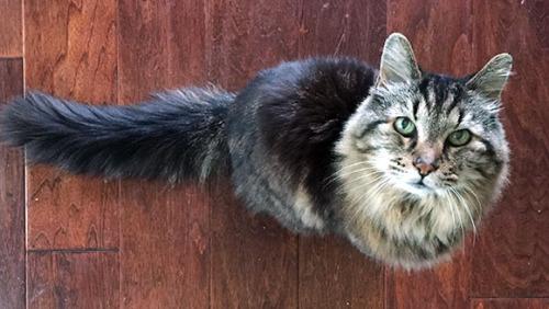 """资料图片:爱吃巧达奶酪和抓老鼠的美国俄勒冈州猫咪""""灯心绒""""。"""