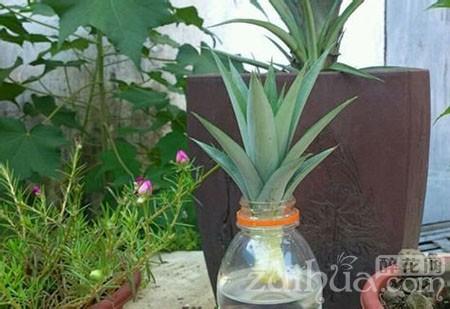 菠萝叶子的处理,如下图