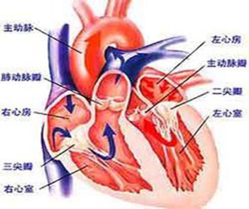 生物心脏简图 手绘图