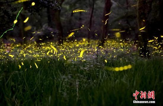 资料图:在南京紫金山一处树林中,成群的萤火虫轻舞飞扬,成为仲夏夜一道柔美的风景线。 中新社发 泱波 摄