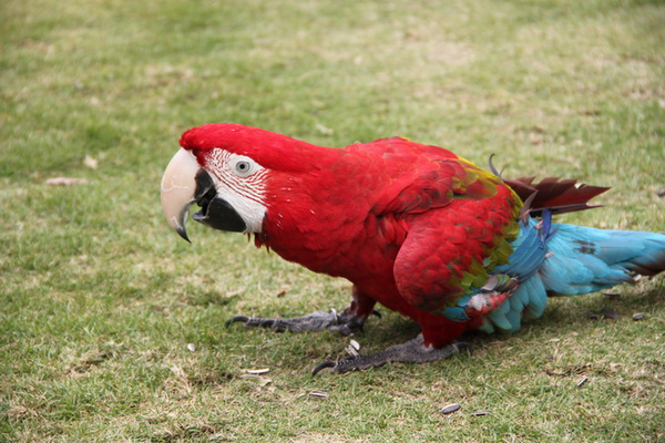 鹦鹉为什么会学舌?图片