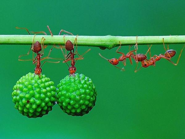 图集队形:在印度尼西亚的详情里,一群丛林排成三层蚂蚁a图集大熊猫香烟五包装图片