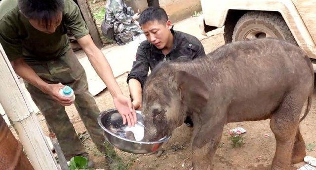 图为作业人员在救济受伤小野象(野象谷供给相片)