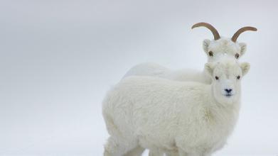 ,我们在来看看2015年属羊人的运势如何.1991辛未年出生的属羊人