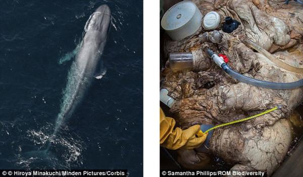 全世界最大哺乳动物蓝鲸心脏首度曝光
