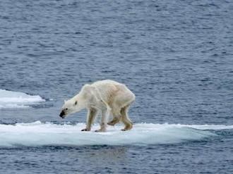 这还是我们熟悉的白白胖胖的北极熊吗?